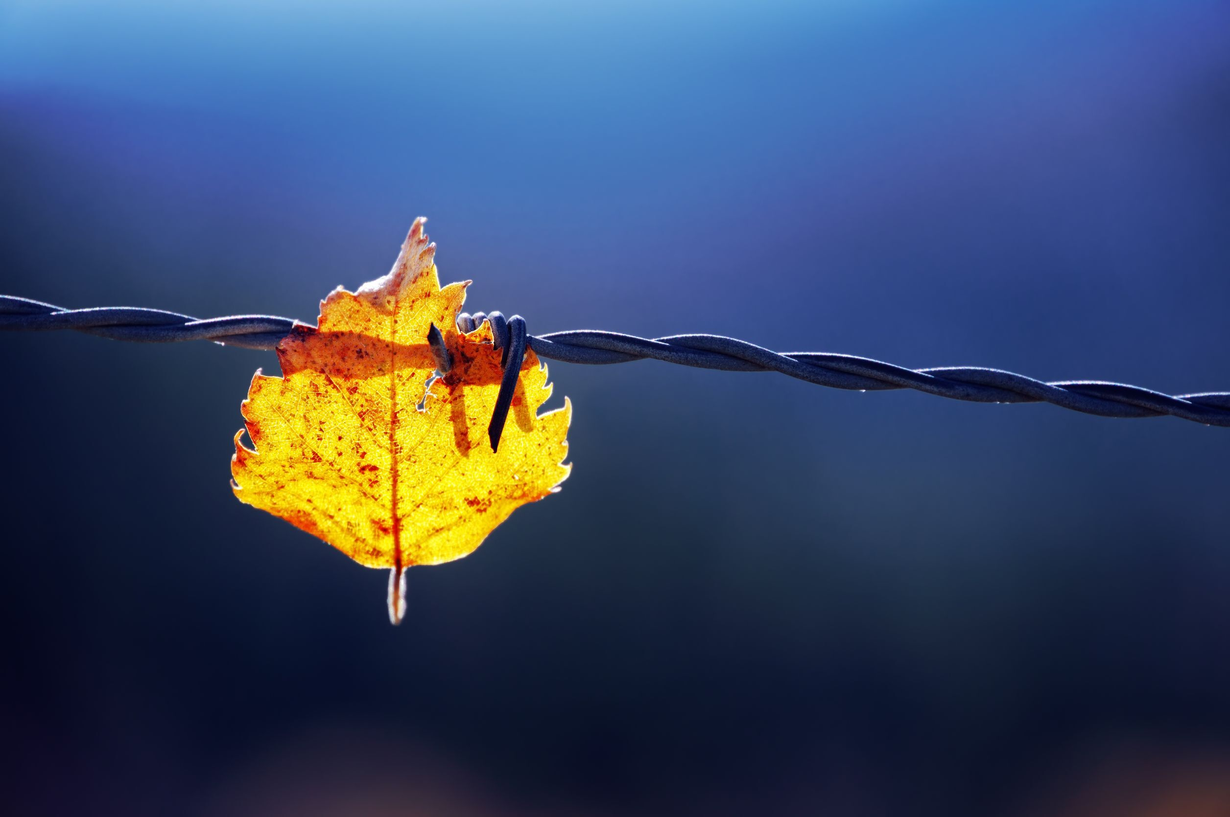 20762573 - trapped leaf on barbed wire